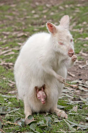 the albino wallaby and joey are eating lunch Stock Photo