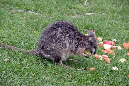 joey: the tammar wallaby is eating vegetables Stock Photo