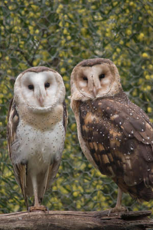 the two masked owl are on a perch Stock Photo