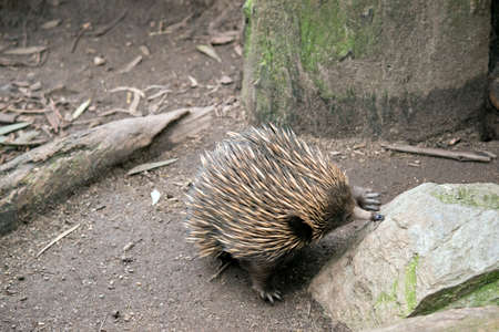 the echidna is eating ants from a rock Stock fotó