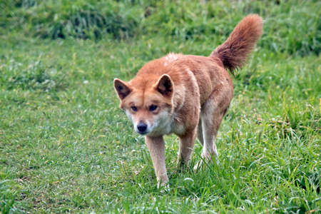the golden dingo is walking in the tall grass