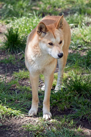 the golden dingo is standing and looking around