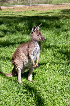 close up eyes: the kangaroo-Island kangaroo joey is in the middle of a paddock