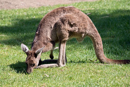 the kangaroo-Island kangaroo is in the middle of a paddock eating grass Stock Photo