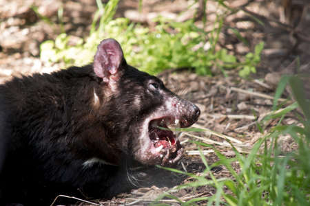 the Tasmanian Devil is chewing on a chicken