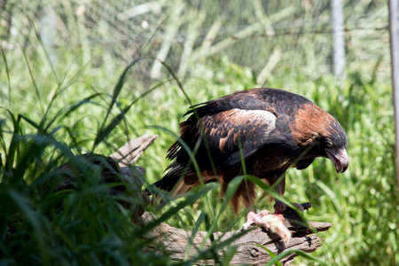 the black breasted buzzard is eating a chick Stock Photo