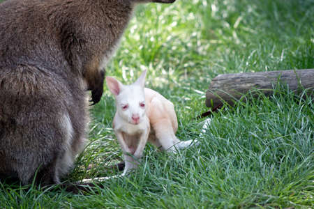 the red necked joey is on the grass