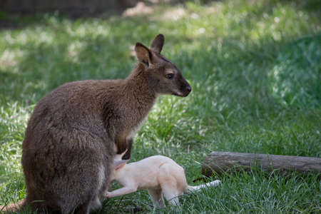 the red necked wallaby is feeding her joey