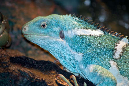 this is a close up of a Fiji banded iguana