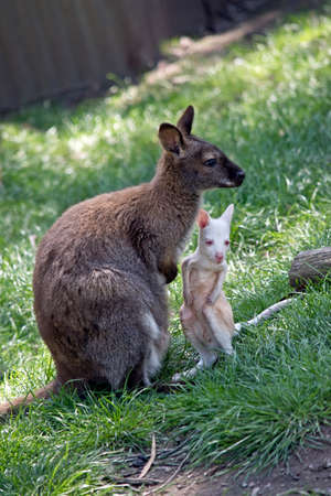 the red necked wallaby is watching her joey