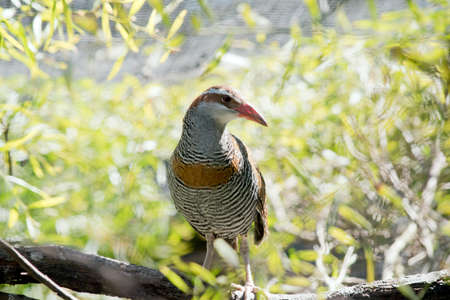 the buff banded rail is perched on a tree branch Stock Photo