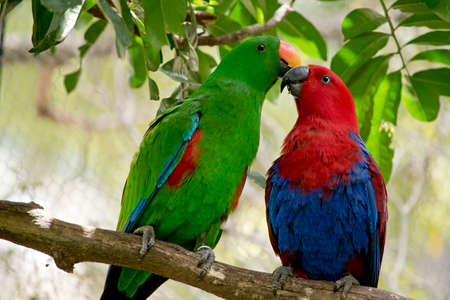 The male bright green and female red and blue eclectus parrots are next to each other