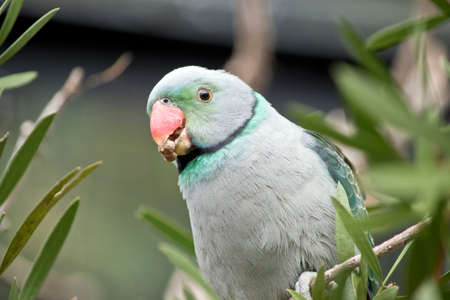 This is a close up of a malabar parakeet eating Stock Photo