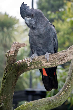 This is a red tailed black cockatoo perched on a tree branch