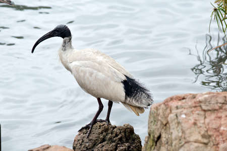 The white ibis is on the rocks