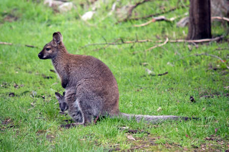 This is a red necked wallaby and her joey in her pouch