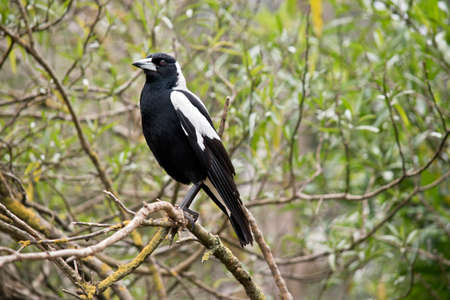 The magpie bird is perched in the bushes