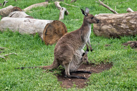 The kangaroo-Island kangaroo and a  joey in the pouch are in the grass