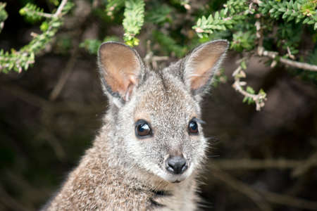 This is a close up of a tammar wallaby Stock Photo