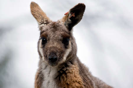 This is a close up of a yellow tailed rock wallaby