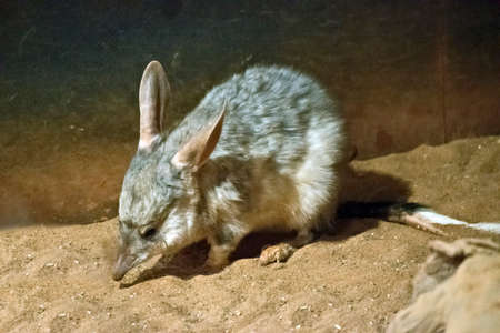 The bilby is a small marsupial similar to a rabbit Stok Fotoğraf - 88258849