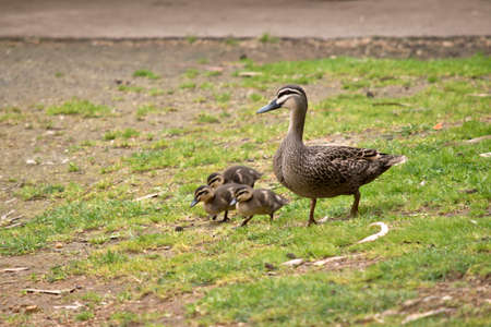 the Australian Pacific black duck with her chicks are walking across the paddock Reklamní fotografie - 88567354