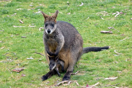 getting out: the joey swamp wallaby is getting out of his mothers pouch Stock Photo