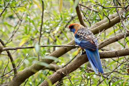 the crimson rosella is perched in a tree Stock Photo