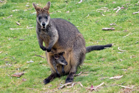 the joey swamp wallaby is getting out of his mothers pouch Reklamní fotografie