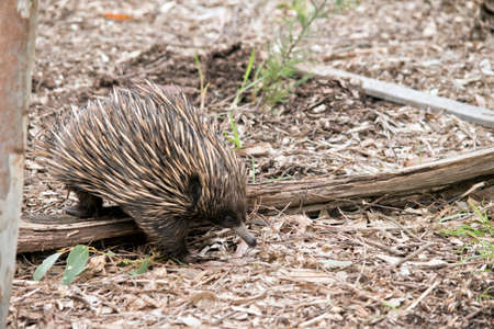 the echidna has sharp spines it uses for defence Stock Photo