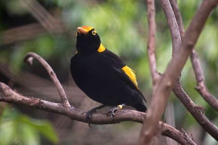 regent: the regent bowerbird is perched in a bush