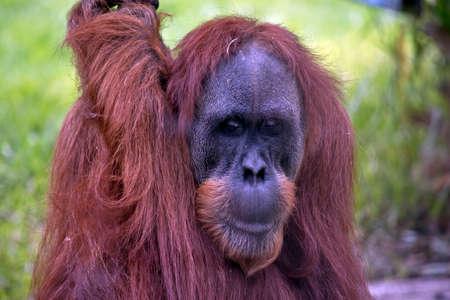 this is a close up of a Orangutan