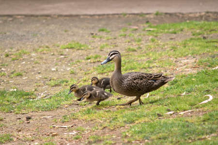 the Australian Pacific black duck with her chicks are walking across the paddock