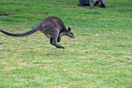 the swamp wallaby is hopping across the field Reklamní fotografie - 88571254