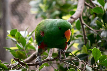 the eclectus parrot is perched on a bush