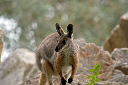 this is a joey yellow footed rock wallaby Stock Photo