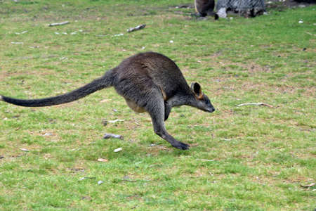 the swamp wallaby is hopping across the field