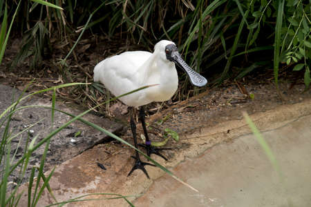 the royal spoonbill is on the edge of the pond