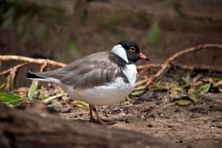this is a side view of a hooded plover