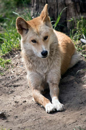 the golden dingo is resting in the sun Stock Photo