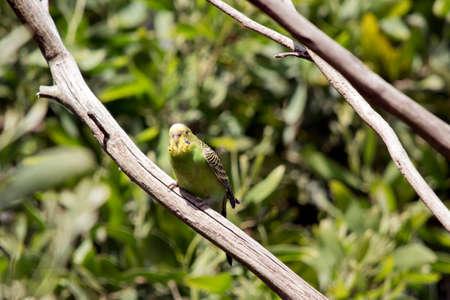 periquito: the budgie is perched on a bush Foto de archivo