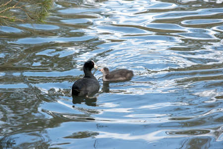 the mother coot is feeding her hatchling