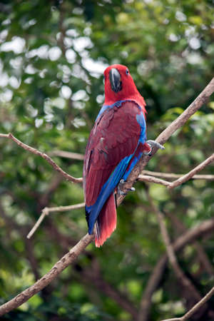 the female eclectus parrot is perched in a tree