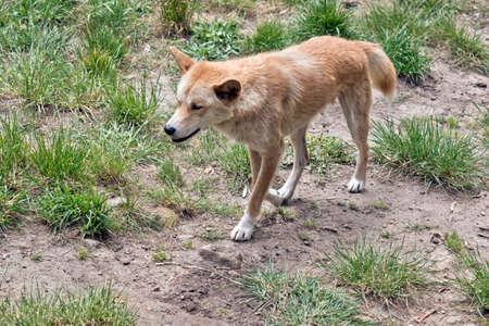 Dingo has a bushy tail Stock Photo