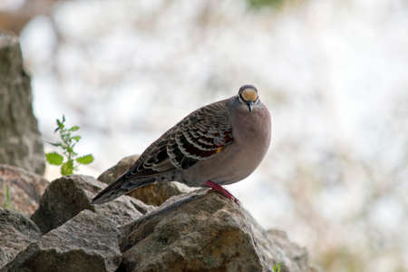 the common bronzewing dove is perched on a rocky outcrop Stock fotó
