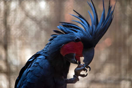 Palm parrot has his head feathers raised while eating Stock Photo