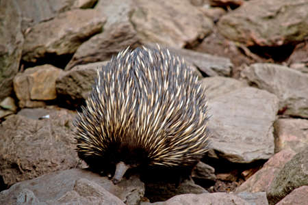 the echidna is searching for ants to eat Stock Photo