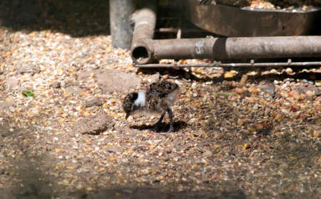 the banded lapwing chick is looking for food Stock Photo