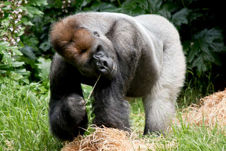 the silverback gorilla is eating hay Stock Photo