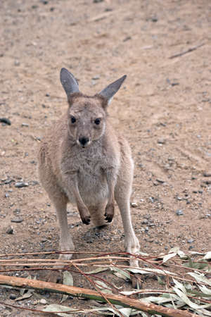the eastern grey kangaroo is about to eat gum leaves